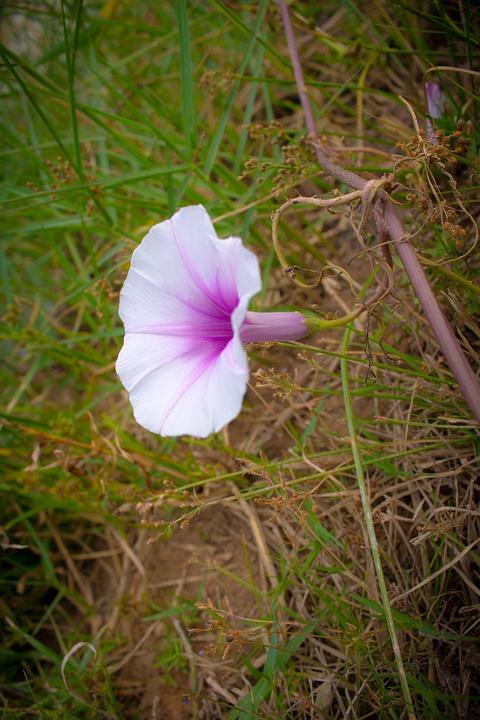 Flower, Ipomoea Violacea, Europe, Beach Moonflower