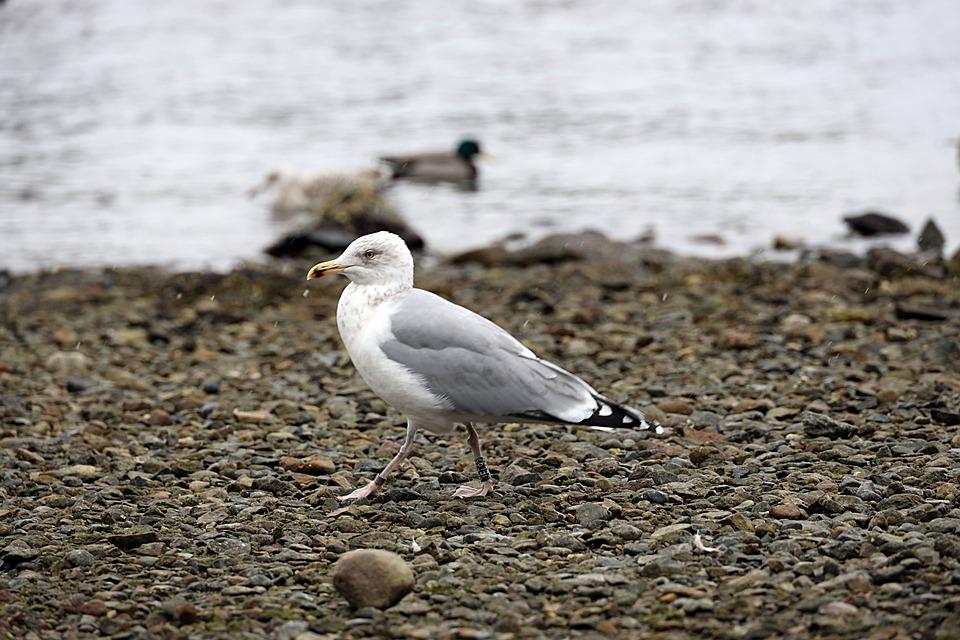Seagull, Bird, Sea, Nature, Beach, Wildlife
