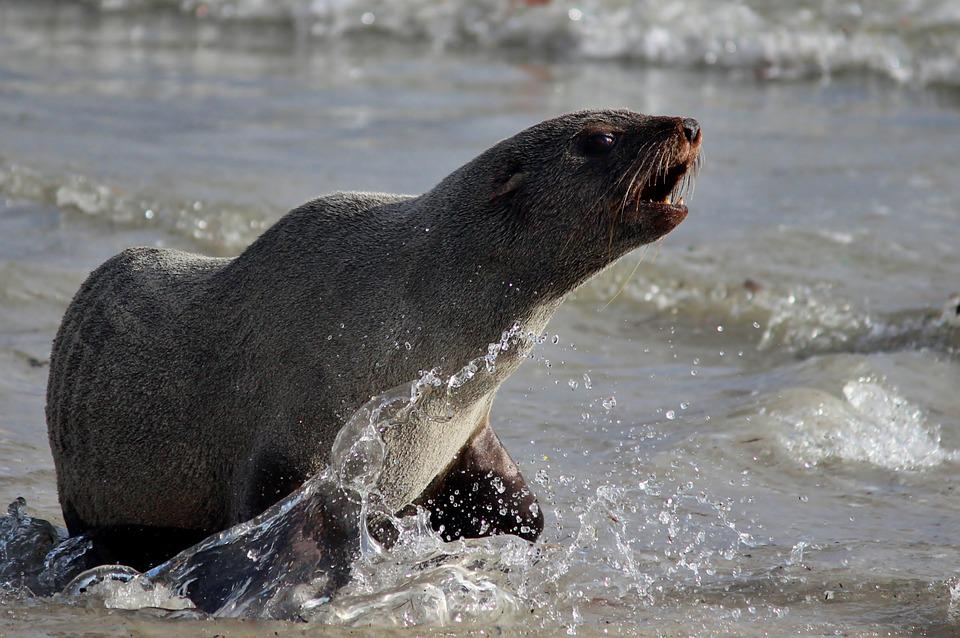 Seal, Sea, Beach, Water, Sand, Ocean, Attack, Defense