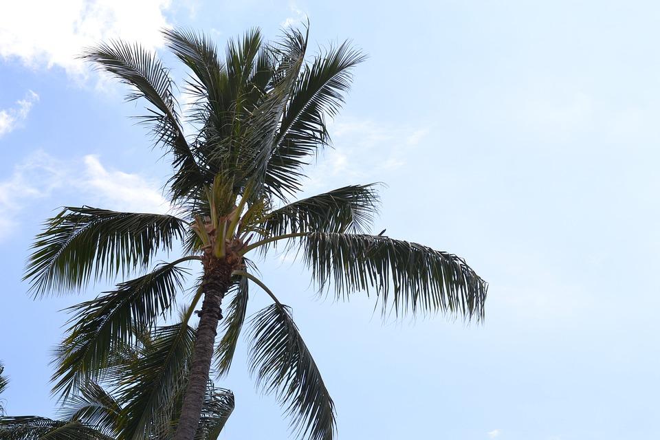 Palm Tree, Sky, Clouds, Hawaii, Palm, Beach, Tree, Blue