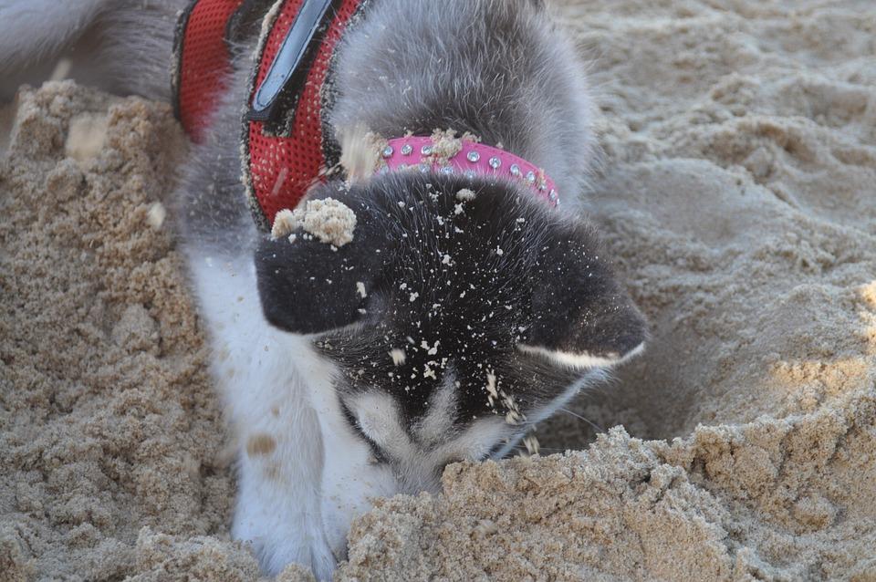 Husky, Dog, Beach, Pet, Animal, Breed, Siberian, Canine