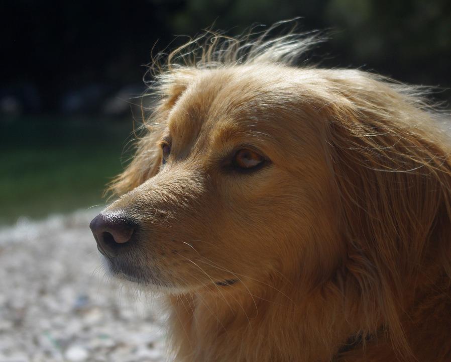 Dog, Animal, Hybrid, Beach, Background, Pets, Race
