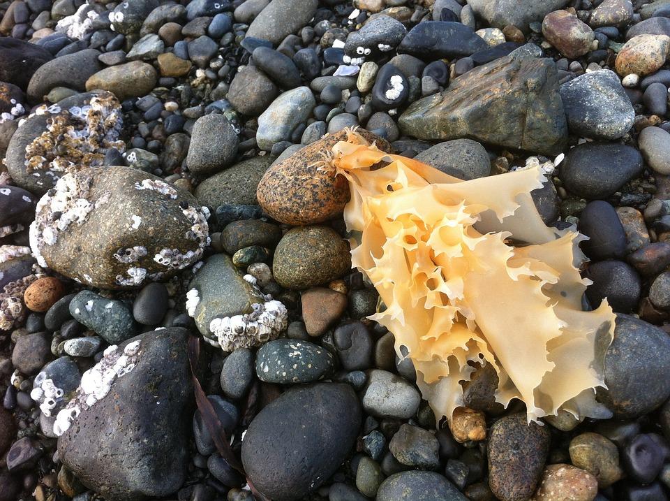 Seaweed, Rocks, Stones, Beach, Low Tide, Ocean, Nature