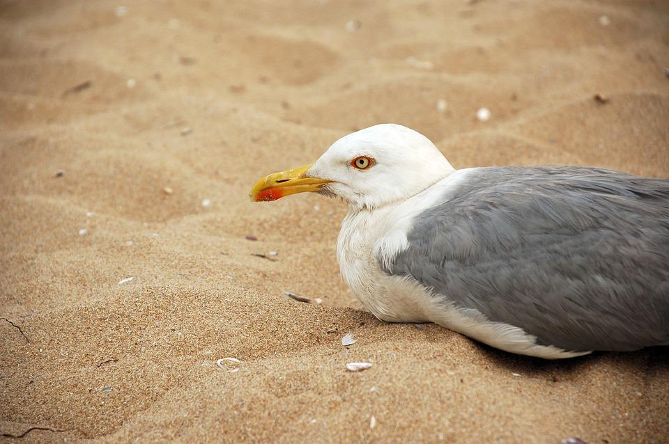 Seagull, Beach, Sand