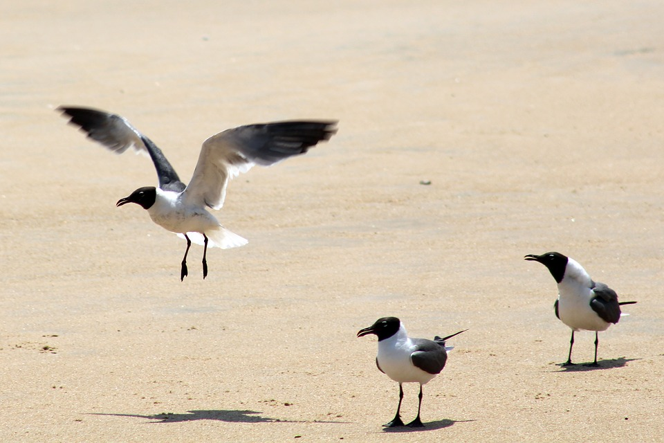 Seagulls, Fly, Beach, Sunny, Nature, Bird, Summer, Gull