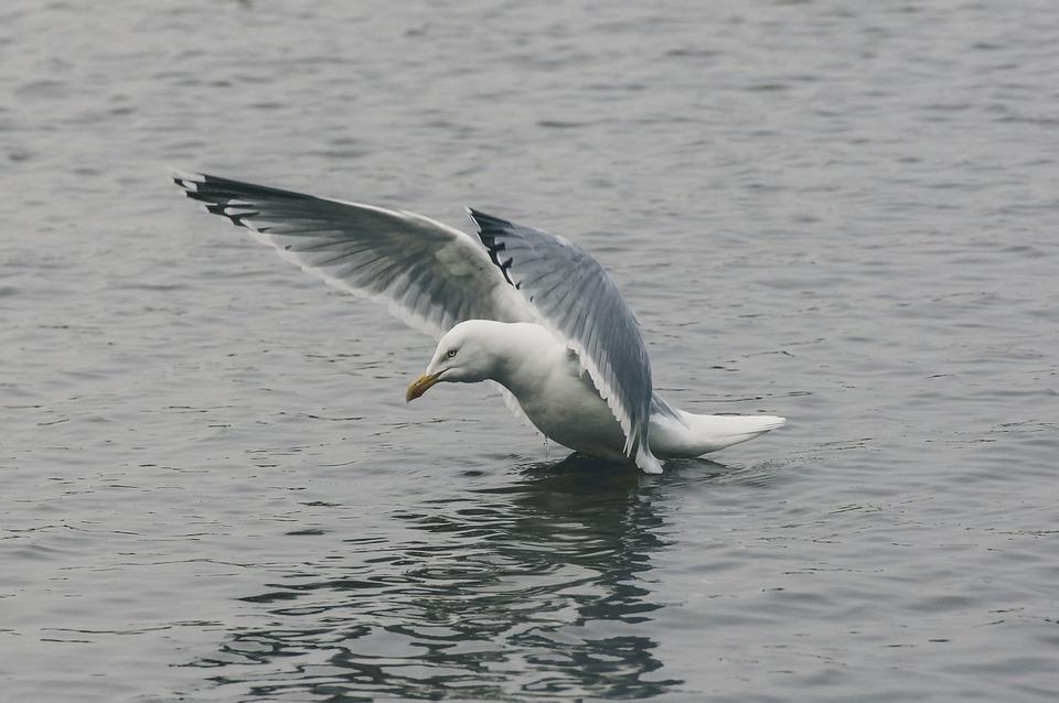 Seagull, Fly, Water, Holiday, Beach, Bird, Sky