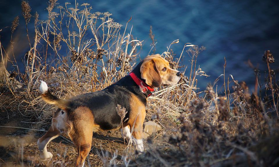Dog, Walk, Pet, Beagle, Breed, Orange, Paws, Tail, Sea