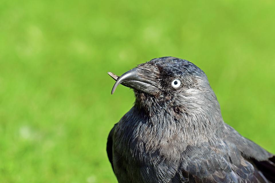 Jackdaw, Beak Abnormality, Bird, Crows Birds
