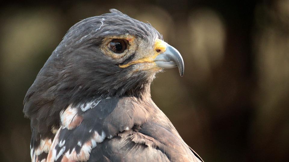 Eagle, Bird, Animal, Beak, Black-chested Buzzard-eagle