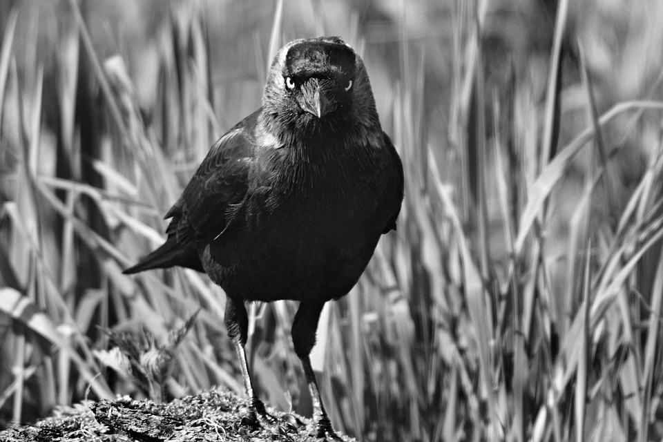 Jackdaw, Bird, Animal, Corvidae, Plumage, Beak, Feather