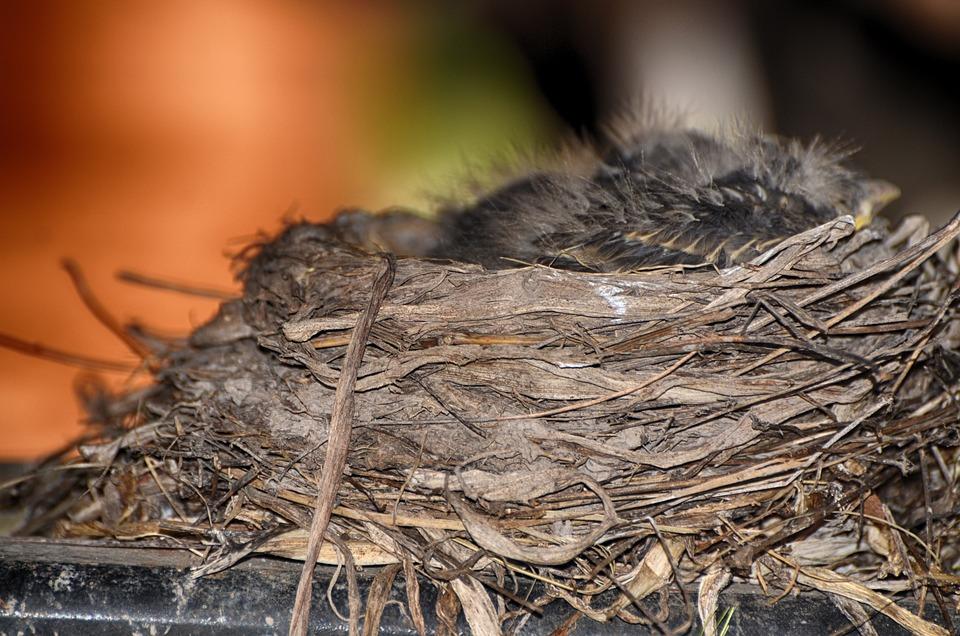American, Robbin, Nest, Robin, Animal, Avian, Beak