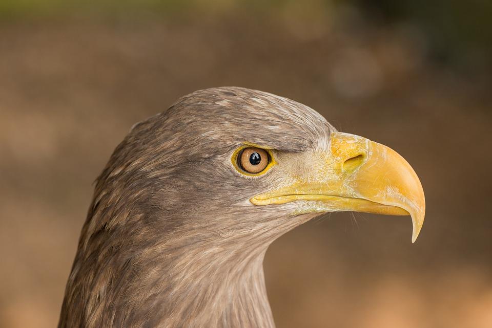 Eagle, Portrait, Beak, Eye, Bird, Detail, Feather, Head