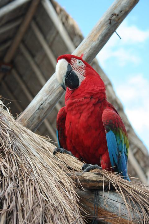 Parrot, Bird, Tropical, Mexico, Exotic, Red, Beak