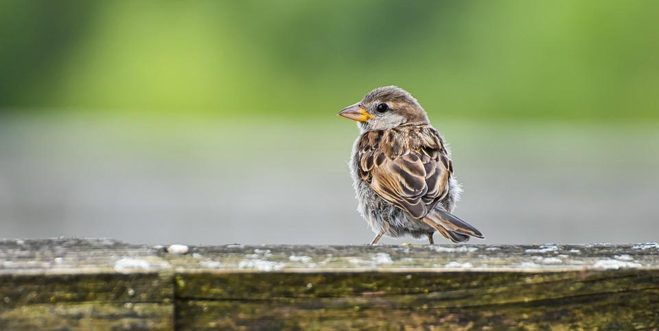 Bird, Sparrow, Plumage, Feather, Beak, Animal, Wood