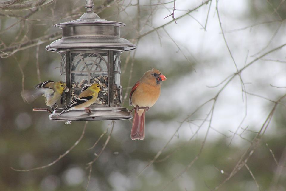 Cardinal, Bird, Red, Wildlife, Nature, Beak, Avian