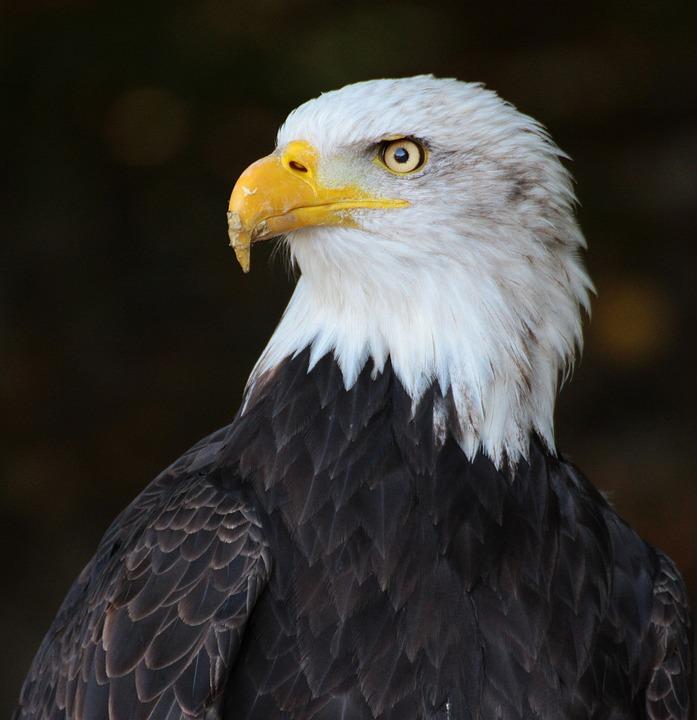 Eagle, Bird, Outside, Beak, Wild, Nature, Predator