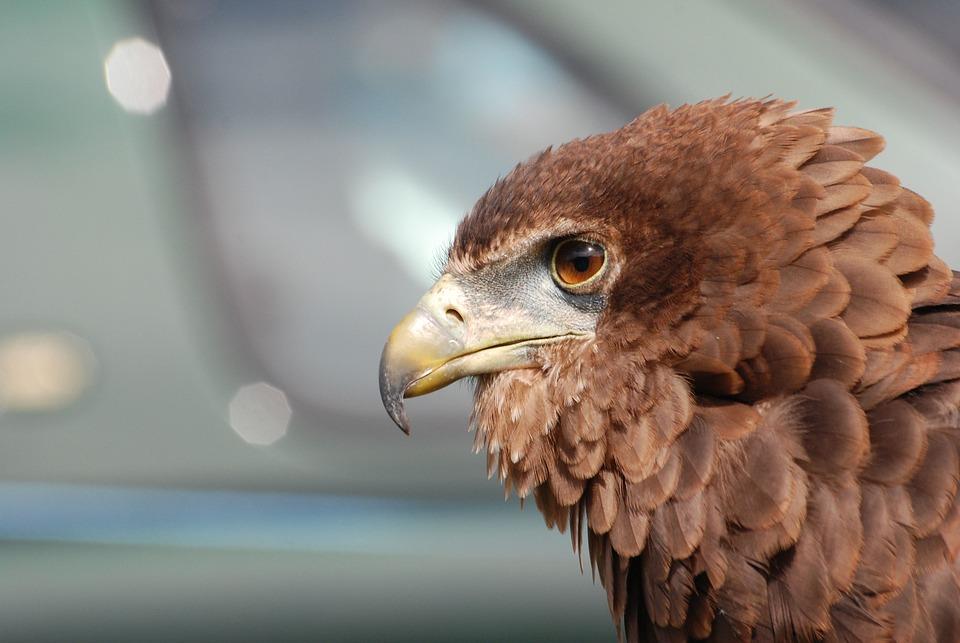 Eagle, Raptor, Bird, Beak, Eyes, Falconry, Plumage