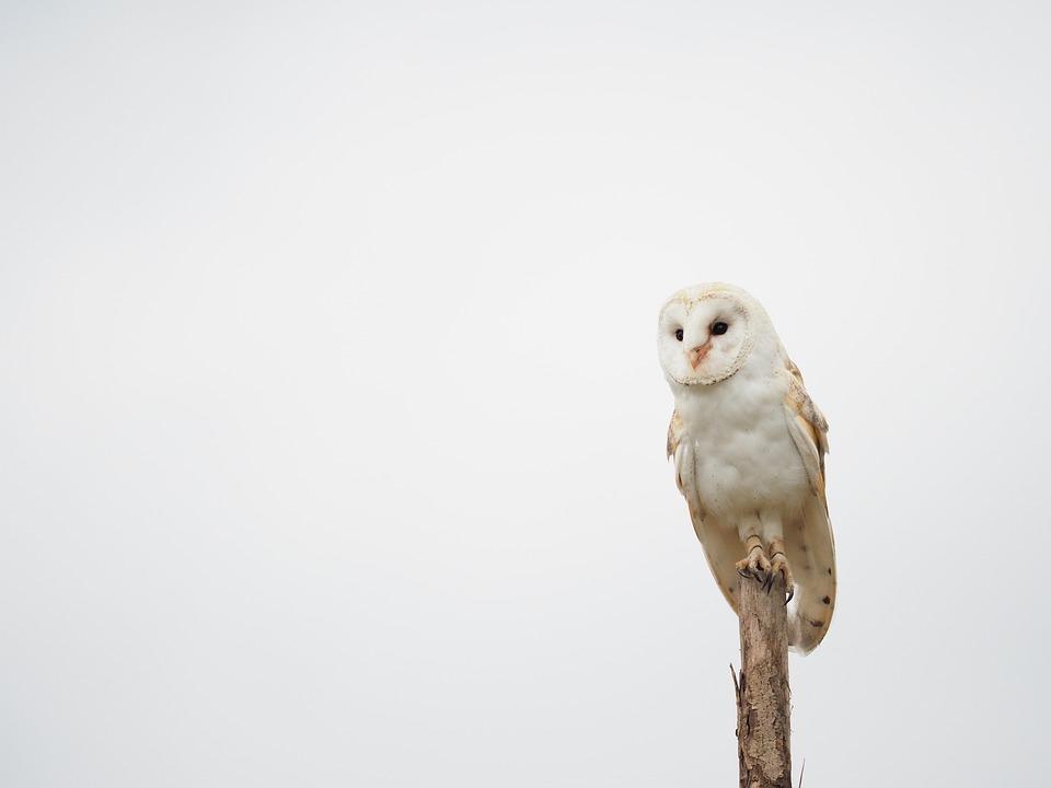 Bird, Animal, Owl, Barn Owl, Wings, Beak, Feather