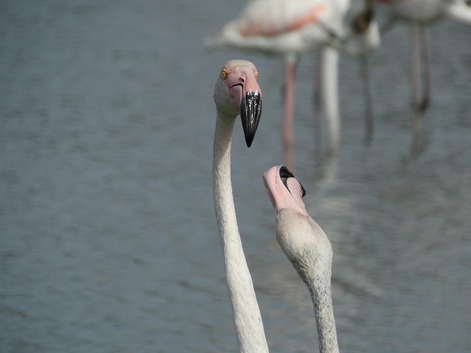 Two, Flamingos, Fighting, Beak, Animals, Birds, Fight
