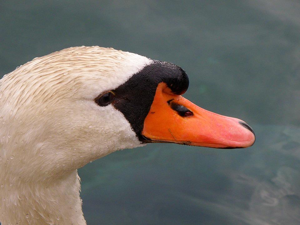 Swan, Head, White, Beak