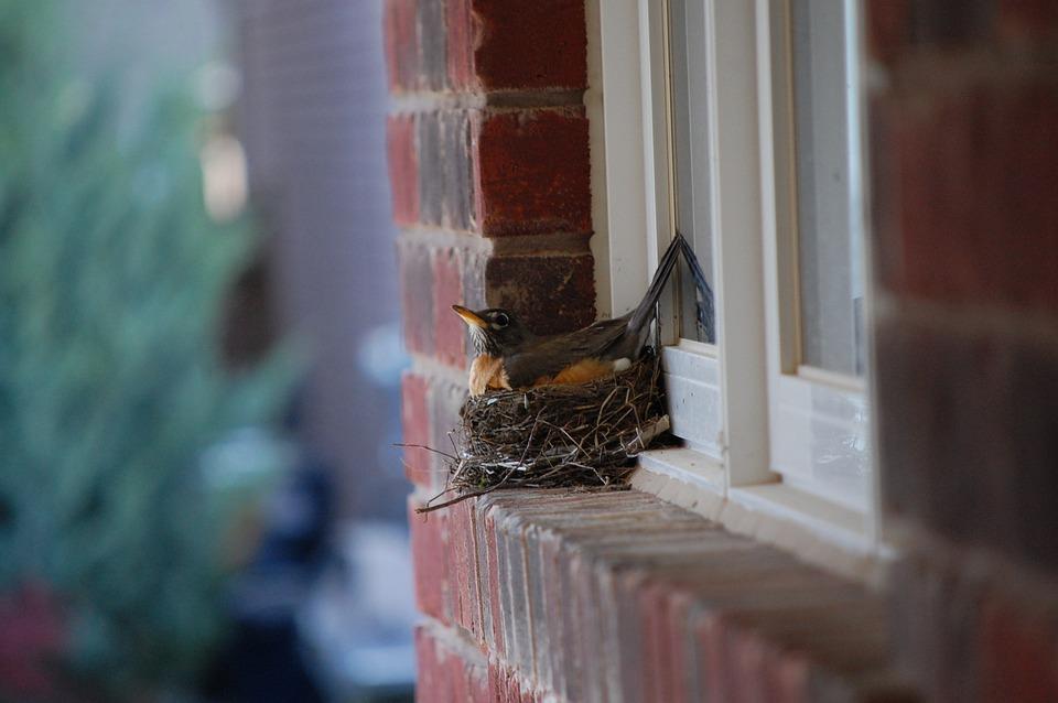 Robin, Nest, Egg, Birds, Beak