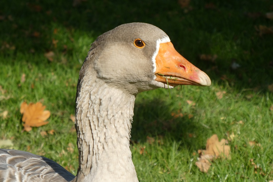 Goose, Beak, Food, Bird, Waterfowl, Plumage