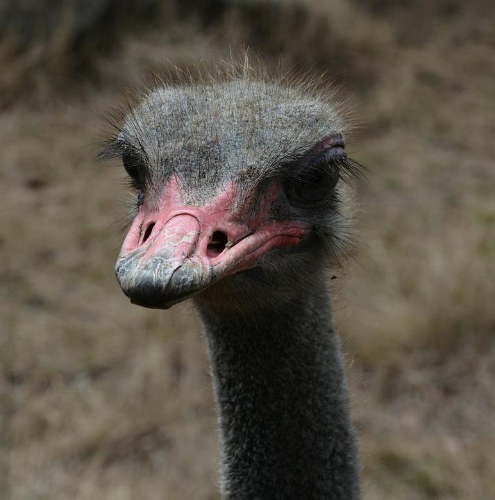 Ostrich, Red, Beak