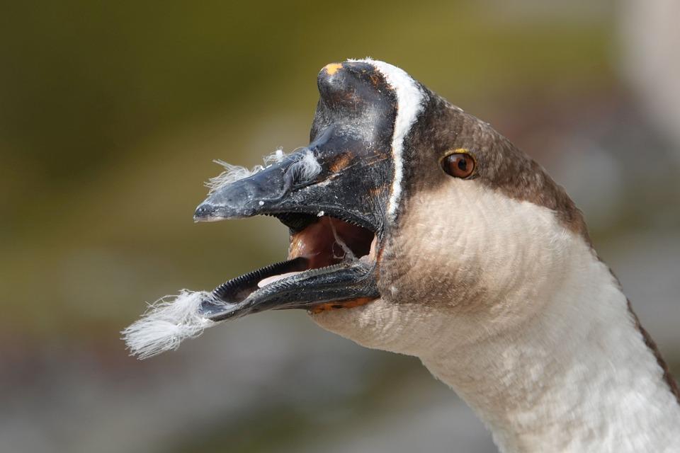 Goose, Bill, Beak The Edge, Pink, Feather, Nostril