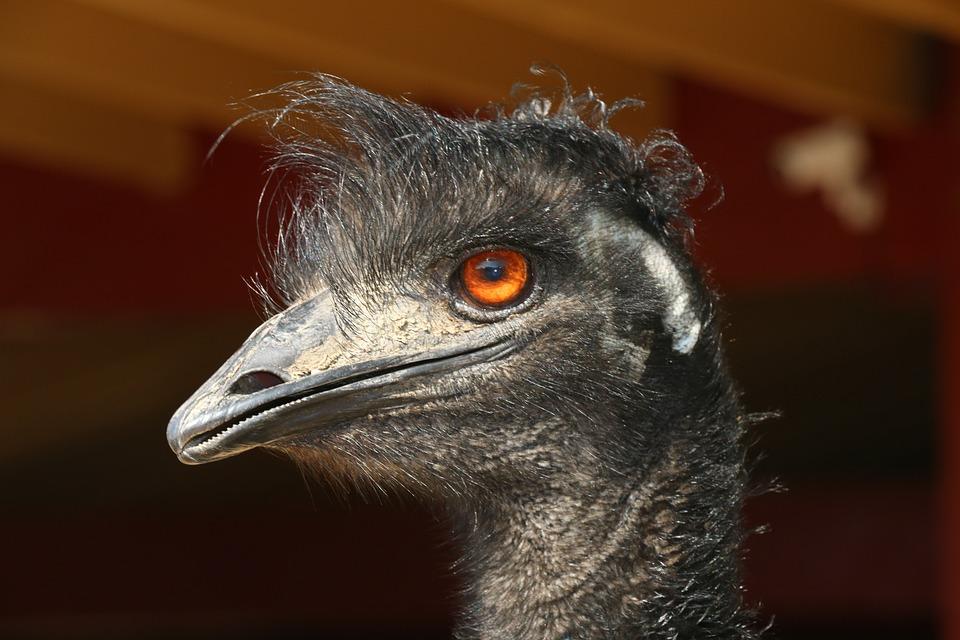 Portrait, Wildlife, Nature, Bird, Animal, Ostrich, Beak