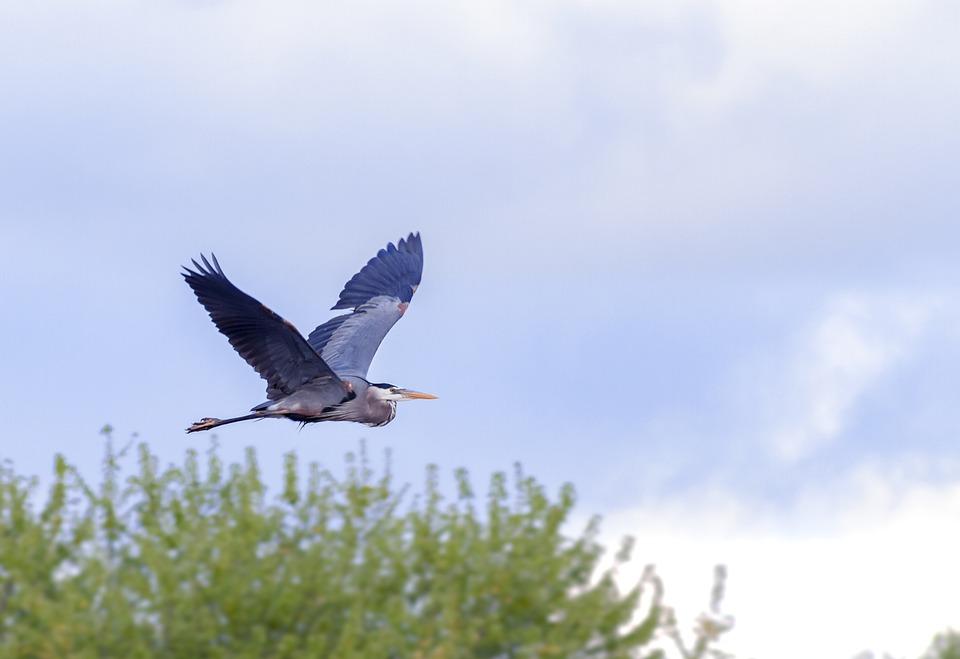 Egret, Bird, Wildlife, Nature, Wild, Beak, Natural