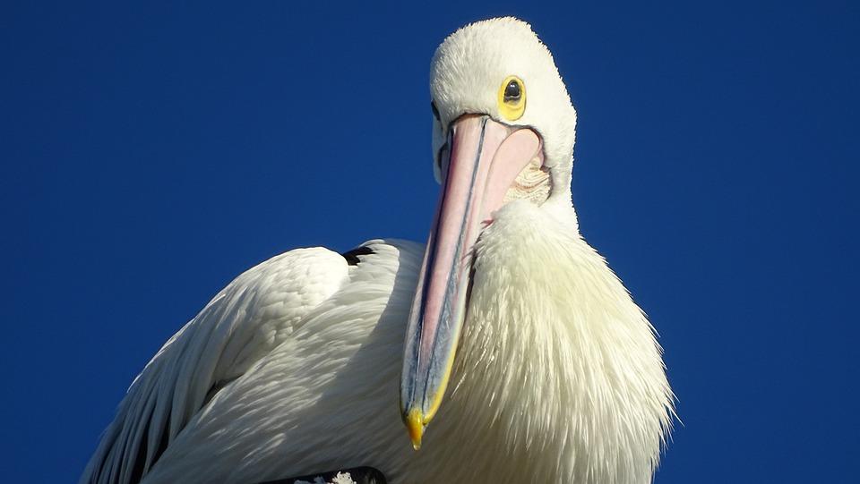 Pelican, Bird, Beak, Feathers, Wing, Perched, Wildlife