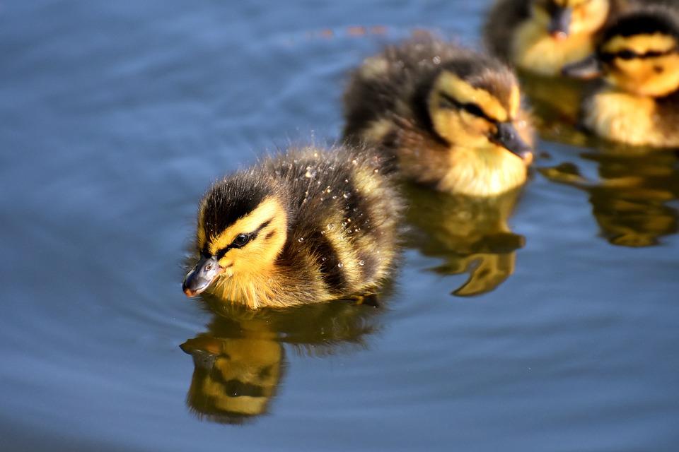 Ducklings, Birds, Animals, Swim, Beaks, Water Fowls