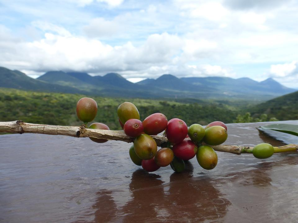 Coffee, Bean, Coffee Beans, Central America, Close Up