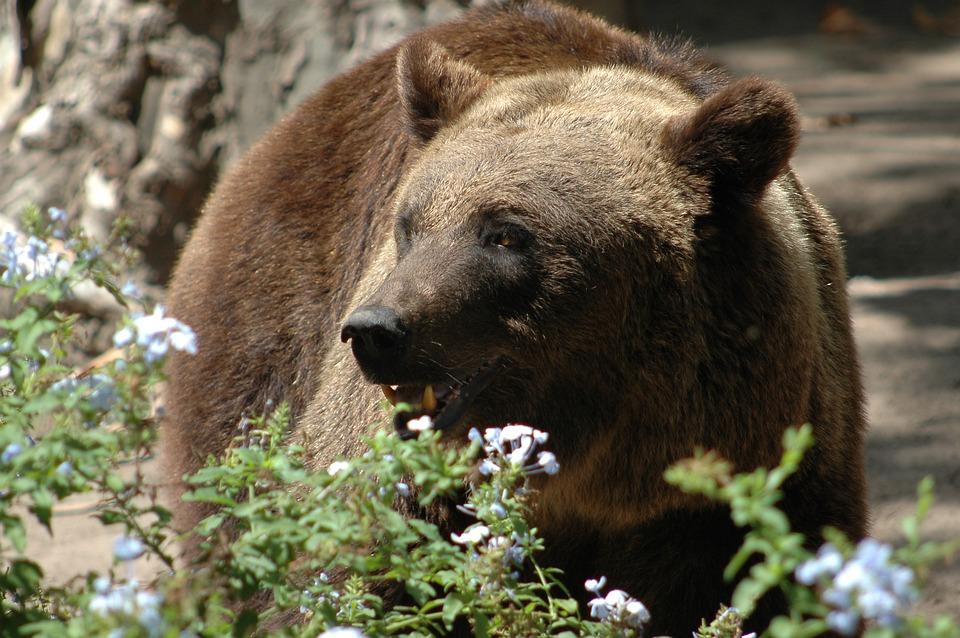 Bear, Bruno, Nature, Fur, Animal, Predator, Mammal