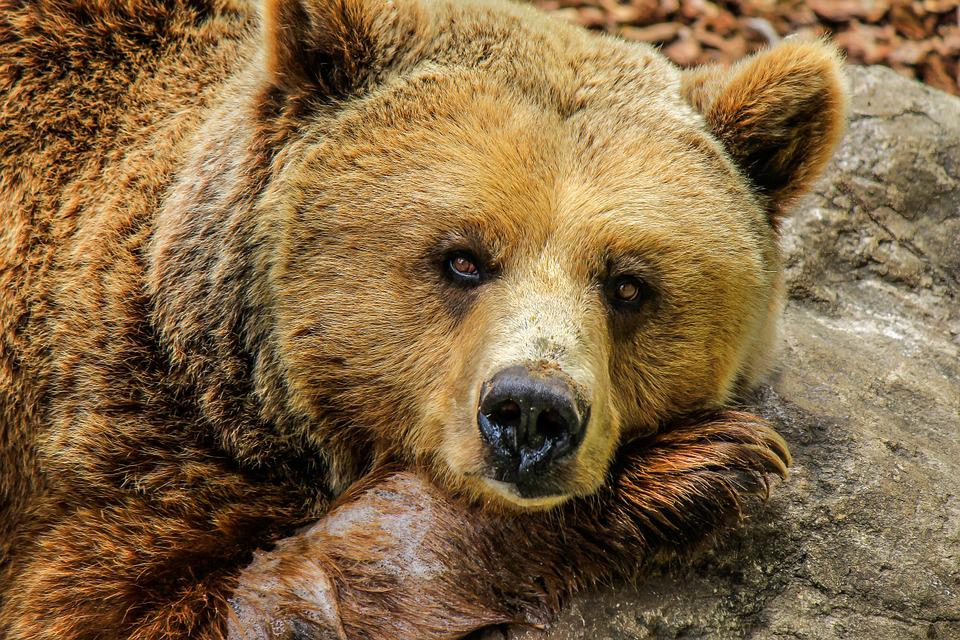 Bear, Grizzly Bear, Brown Bear, Zoo, Captivity, Animal