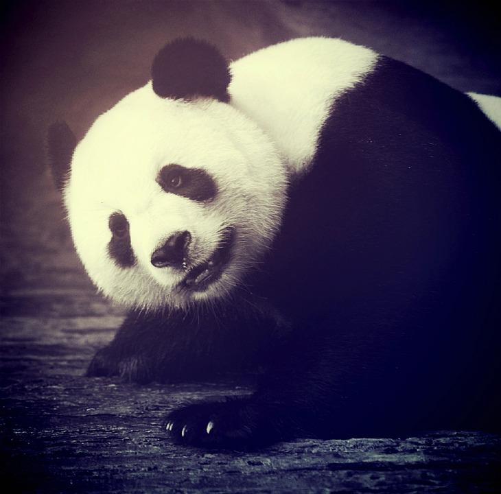 Panda Bear, Animal, Asia, Asian, Bamboo, Bear, Big