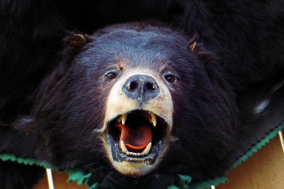 Bear, Head, Brown Bear, Black Bear, Animal, Dummy