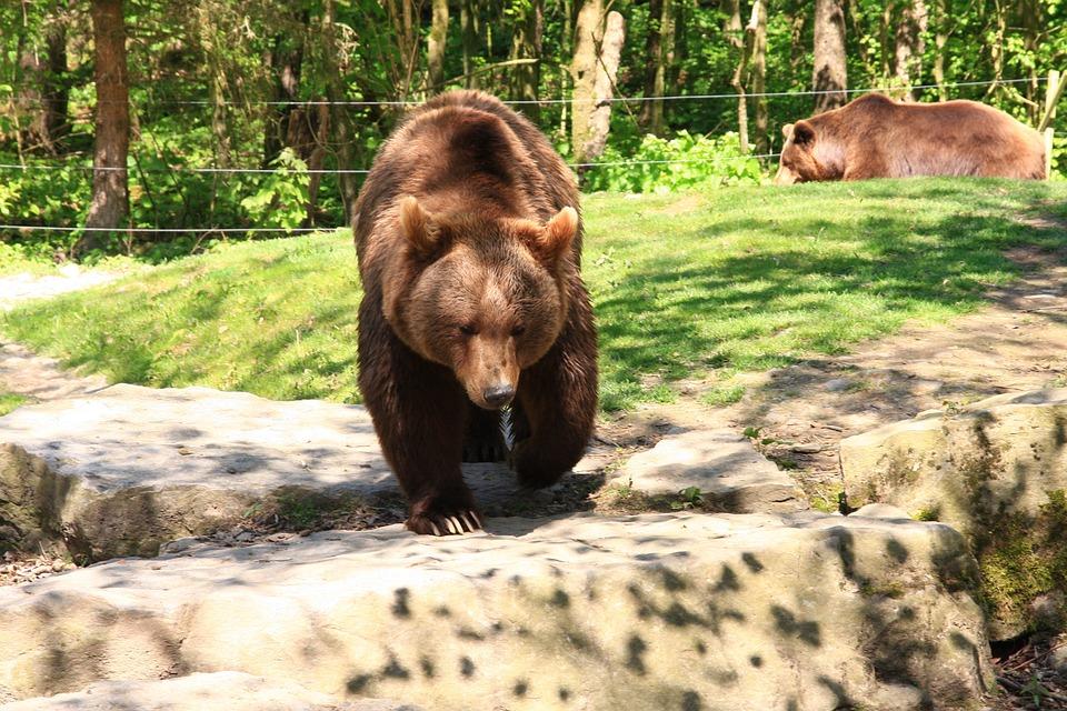 Bear, Wildlife Park, Brown Bear
