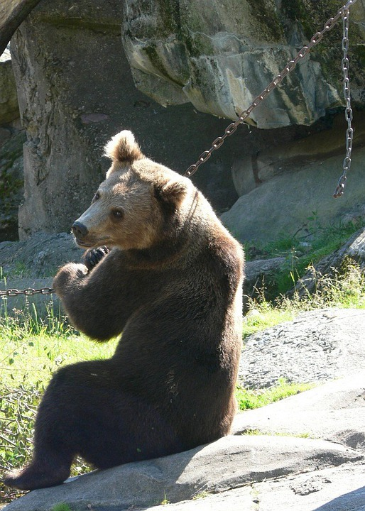 Bear, Brown Bear, Sit, Chain, Chained, Caught, Zoo