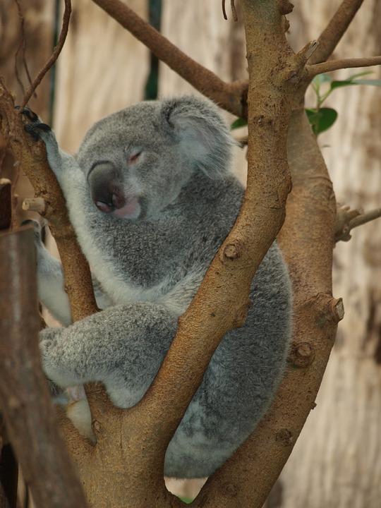 Koala Bear, Teddy Bear, Bear, Cute, Zoo