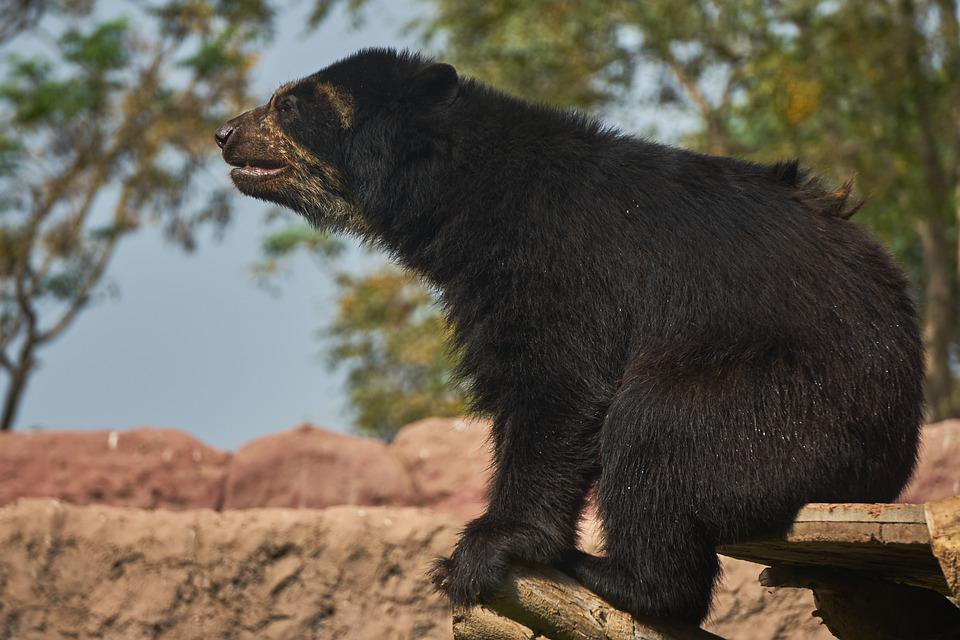 Spectacled Bear, Bear, Mammals, Animals