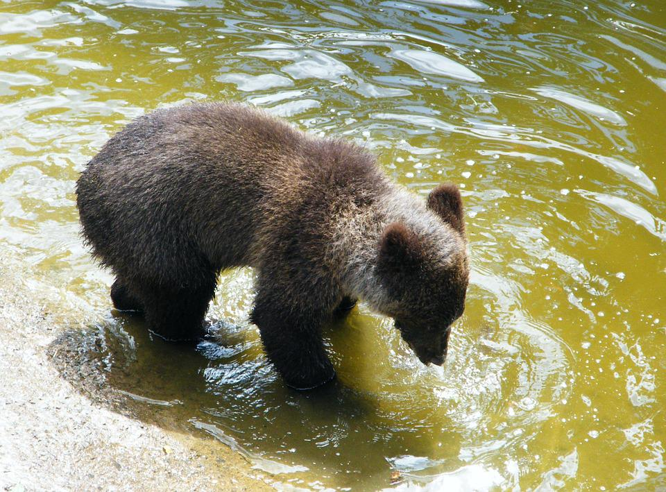 Bear, Brown Bear, Young, Mammal, Animal, Water, Playing