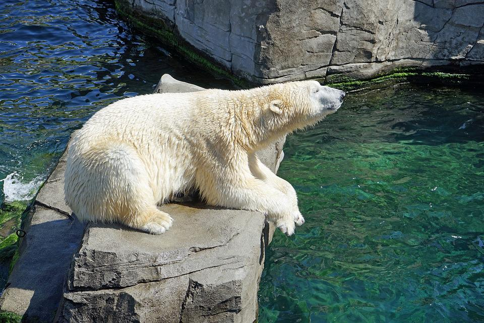 Polar Bear, Water, Concerns, Bear, Fur, White