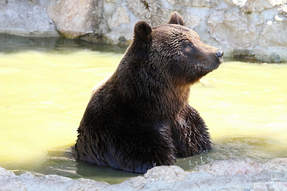 Brown Bear, Mammal, Bear, Predator, Fur, Wild Animal