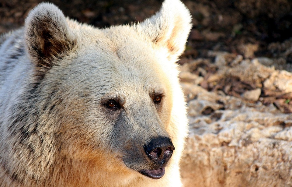 Bear, Grizzly, Wildlife, Brown, Wild, Mammal, Fur