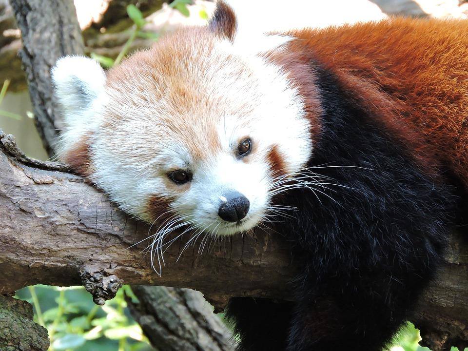 Free photo Bear Wildlife Chinese Animal Zoo Panda - Max Pixel