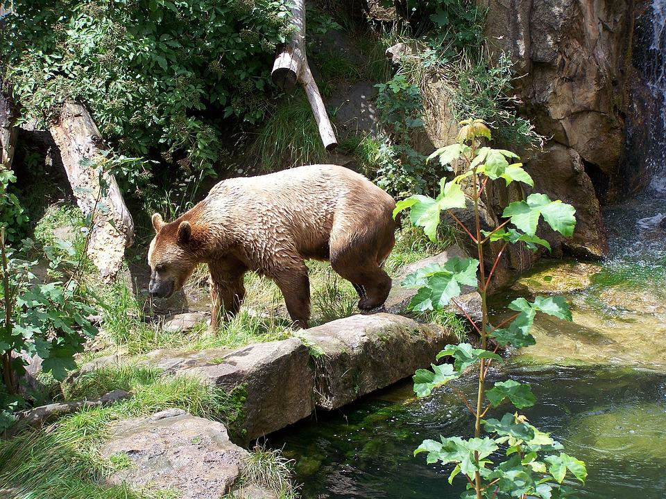 Bear, Zoo, Alpine Zoo, Innsbruck