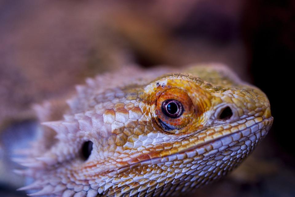Bearded Agama, Agama, Lizard, Reptile, Vivarium
