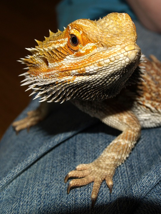 Bearded Dragon, Australia, Lizard, Animals