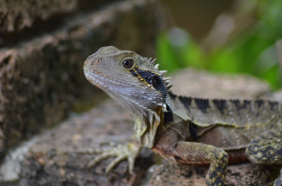 Bearded Dragon, Lizard, Nature